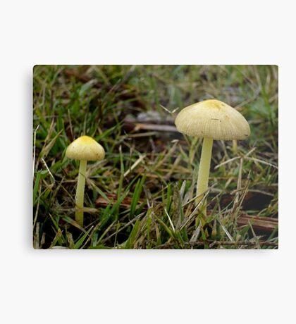 Older Yellow Mushrooms Metal Print