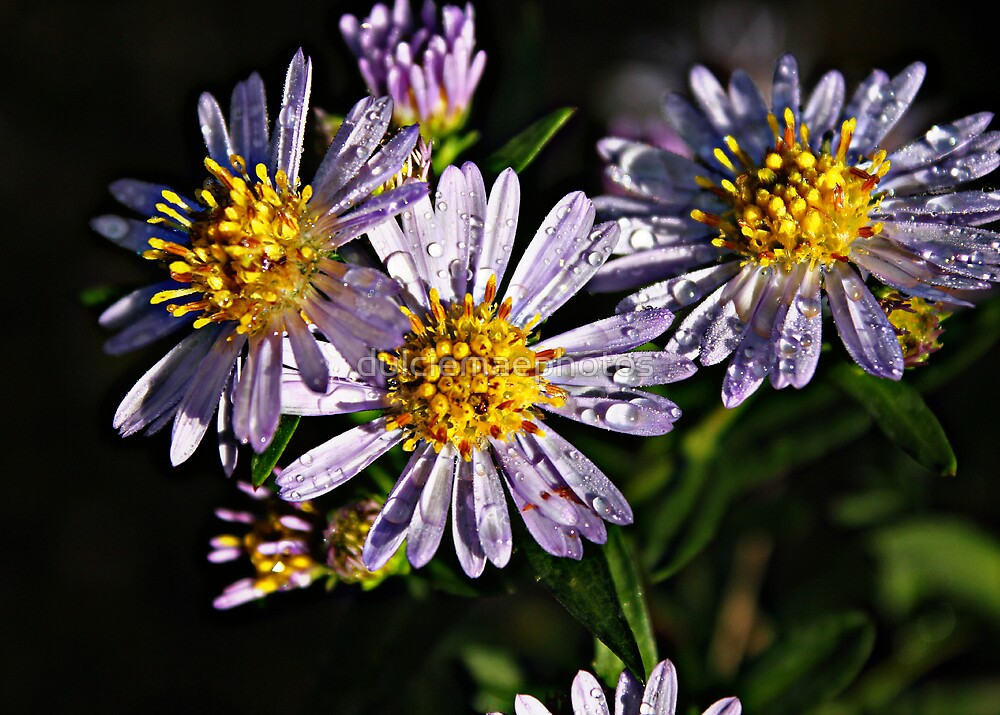 Daisies macro by dulciemaephotos