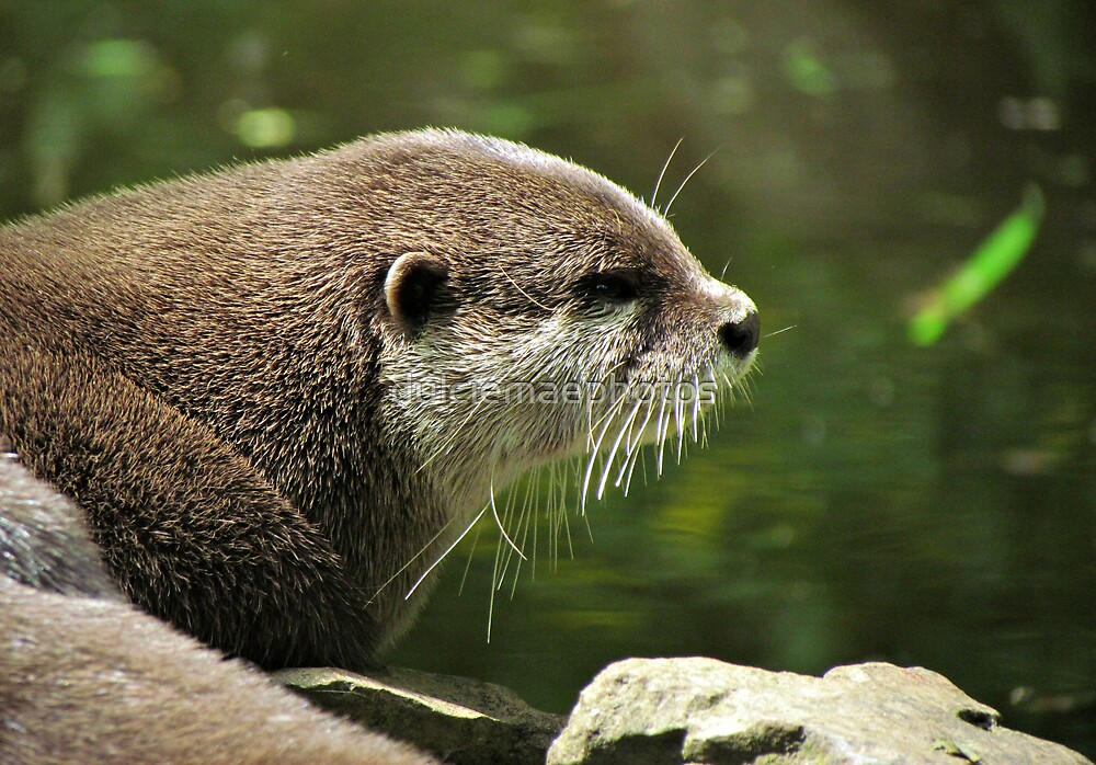 Otter by dulciemaephotos