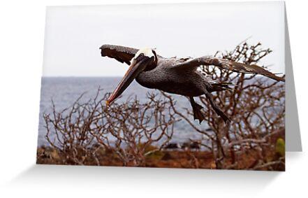 Galapagos Brown Pelican by Sylwester Zacheja