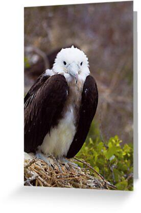 Frigatebird by Sylwester Zacheja