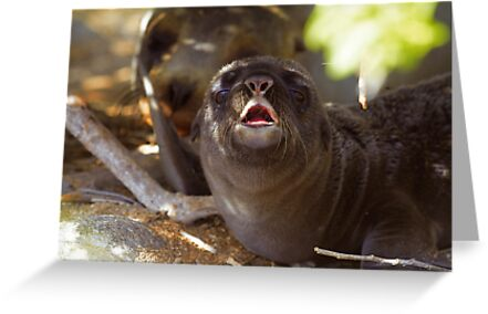 Sea Lion Neonate with Mother by Sylwester Zacheja