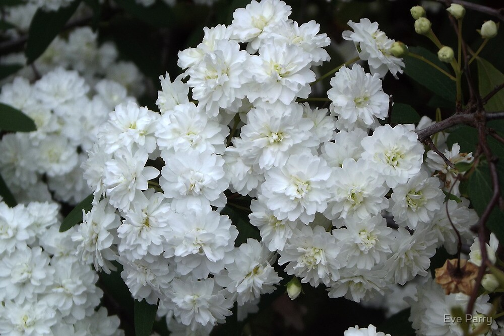 White Flowers of the May Bush by Eve Parry