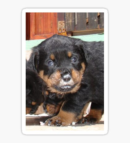 Messy Rottweiler Puppy With Food Covering Nose Sticker