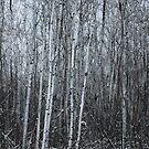Poplars II by RobertCharles