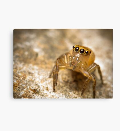 (Prostheclina pallida) female Jumping Spider Canvas Print