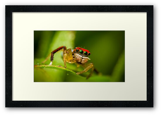 Juvenile Peacock Jumping Spider #3 by Kerrod Sulter