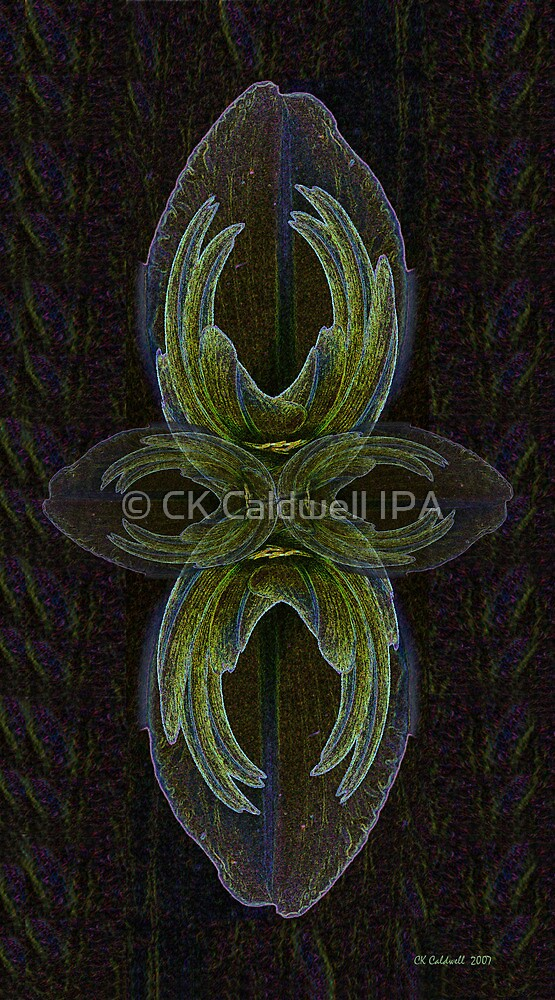 African Lily by © CK Caldwell IPA