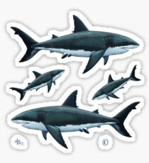 Carcharodon carcharias by Amber Marine, great white shark illustration, art © 2015 Sticker