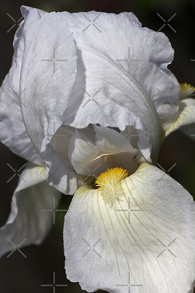 Iris of White by Joy Watson
