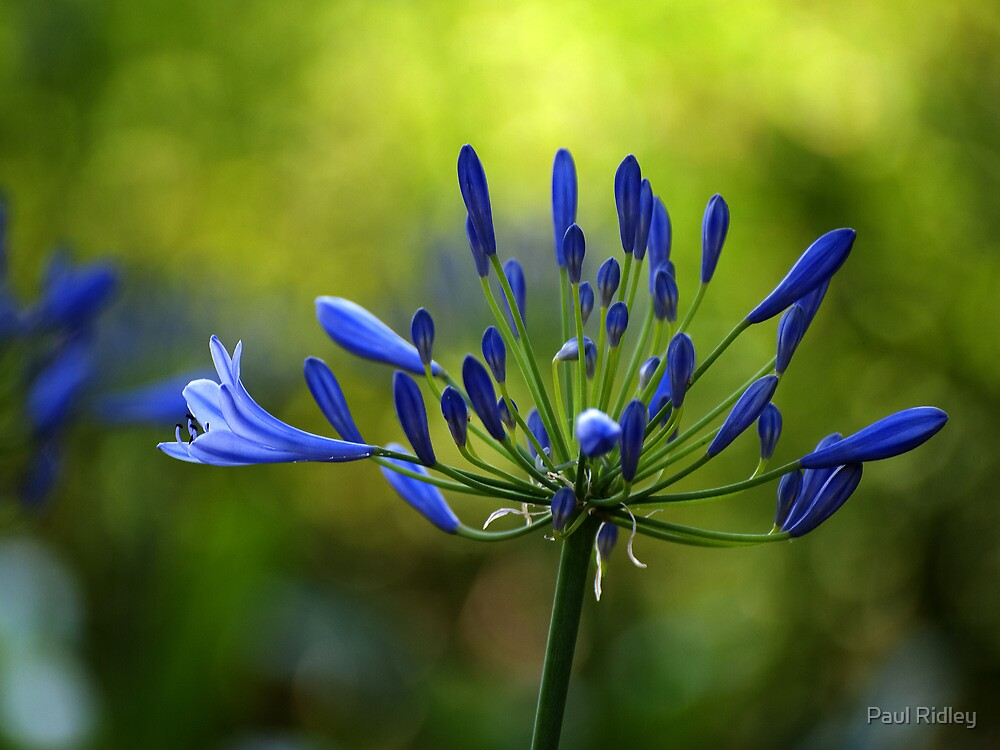 Agapanthus buds by Paul Ridley