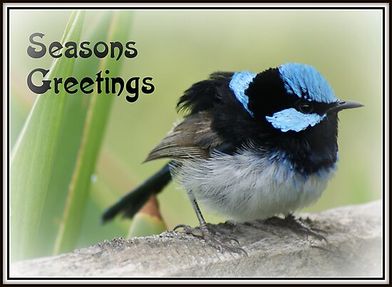 Christmas card - Superb Blue Wren by BronReid