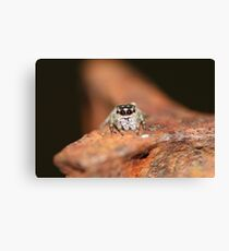 Little jumping spider Canvas Print