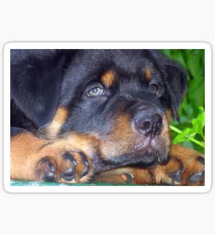 Photographic Portrait Of A Young Male Rottweiler Sticker