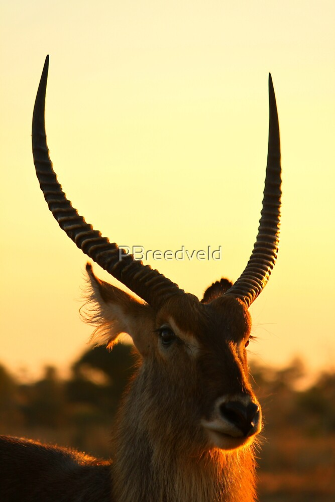 Waterbuck by PBreedveld