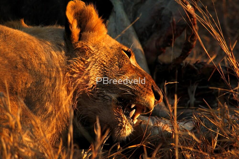 Lion Kill 1 by PBreedveld