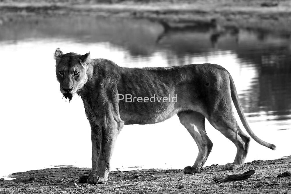 Hungery Lioness by PBreedveld
