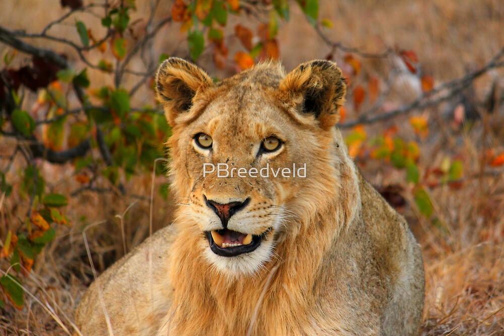 Male Lion by PBreedveld