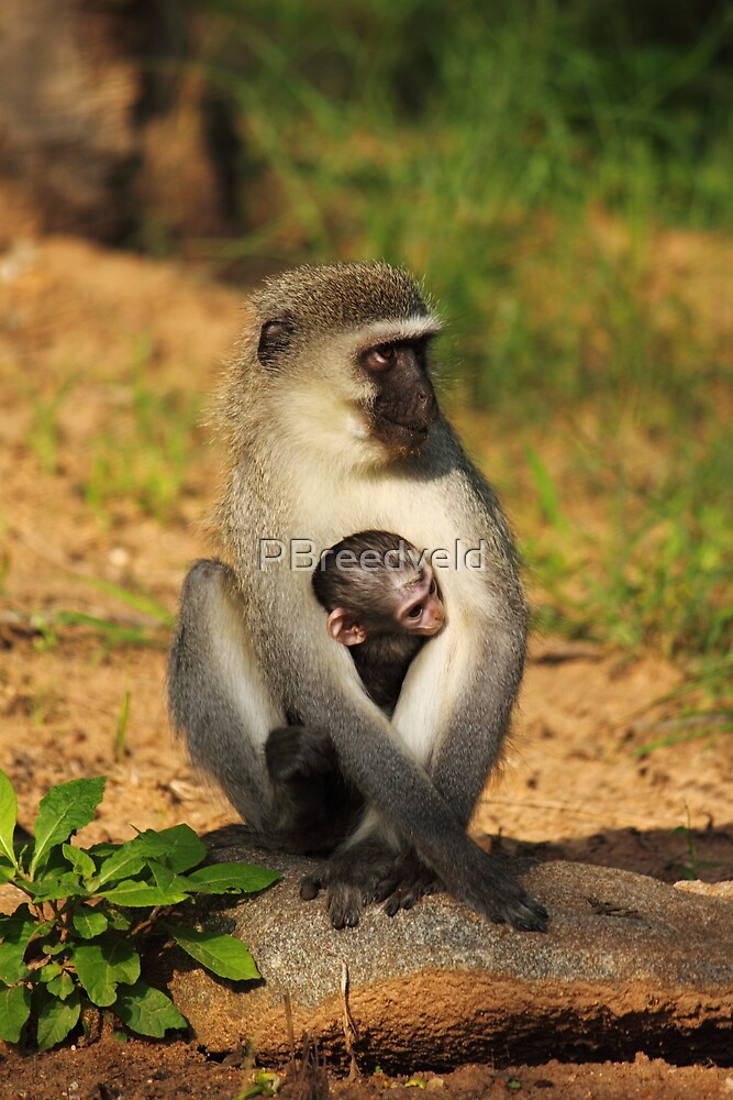 Mother Vervet and baby by PBreedveld