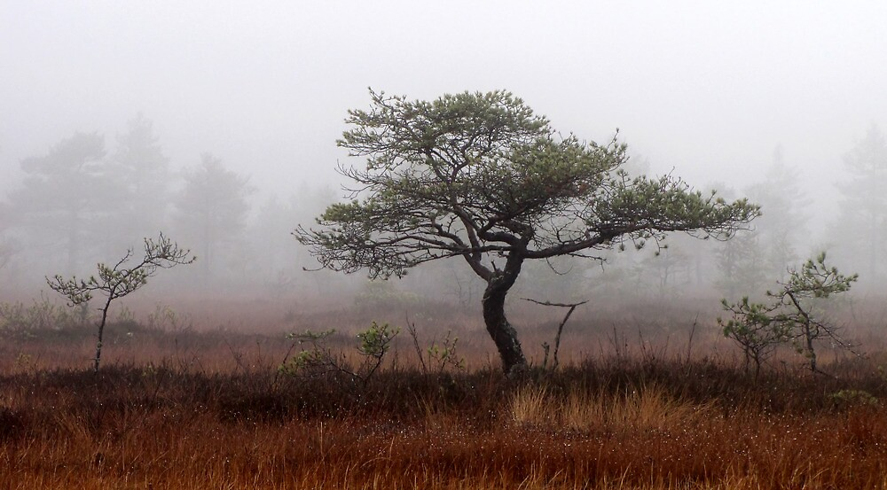 5.11.2012: Old Pine Tree by Petri Volanen