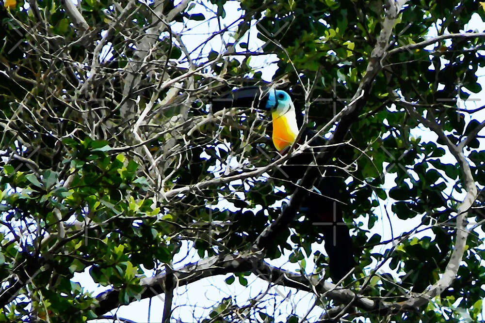 Channel-billed Toucan, La Brea, Trinidad. by santimanitay