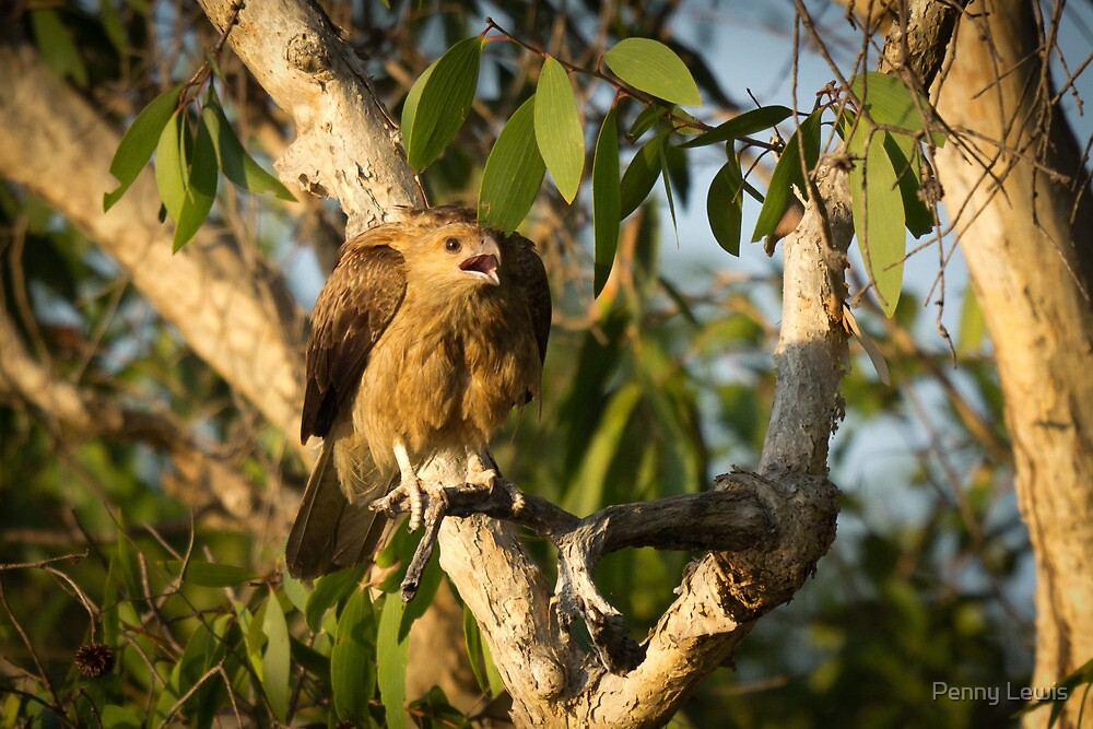 Baby Kakadu Eagle by Penny Lewis