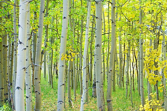 Aspen Tree Forest Autumn Time by Bo Insogna