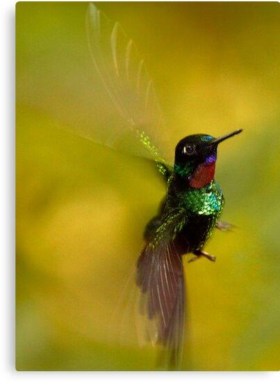 Hummingbird 5 by Sylwester Zacheja