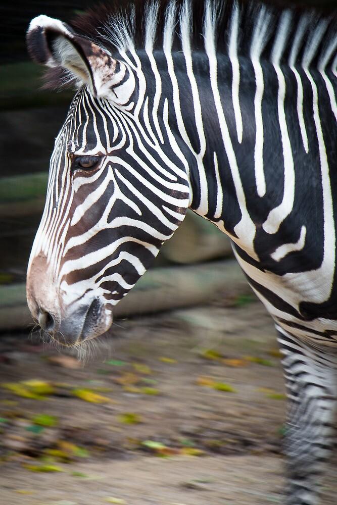Zebra by Sean Balanger