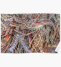 Fish Market: Crawfish at Montagu Beach in Nassau, The Bahamas Poster