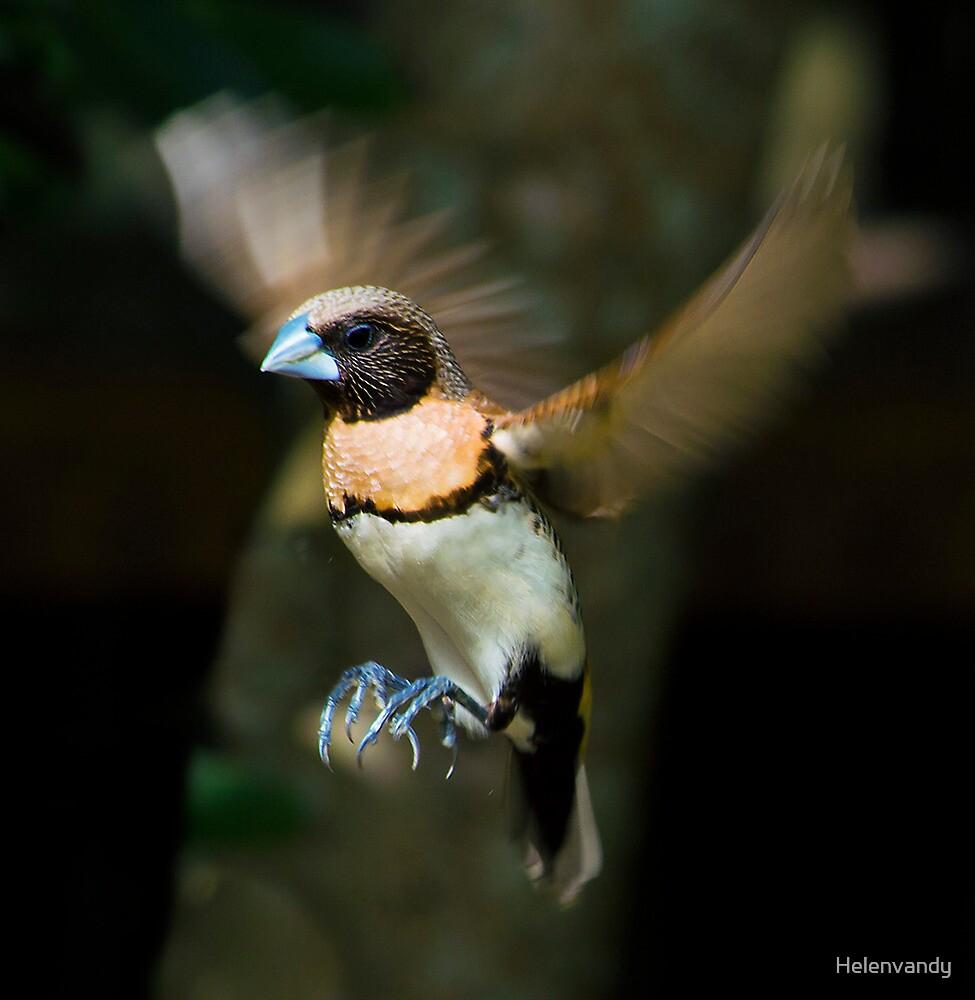 Bull Finch in flight by Helenvandy