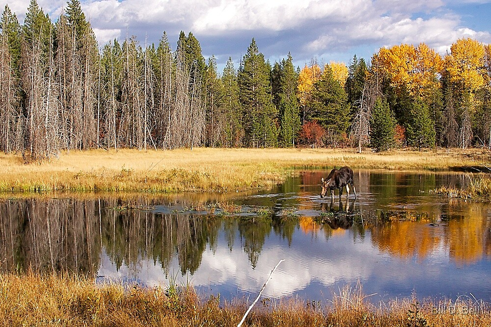 Moose Reflection by Bill D. Bell