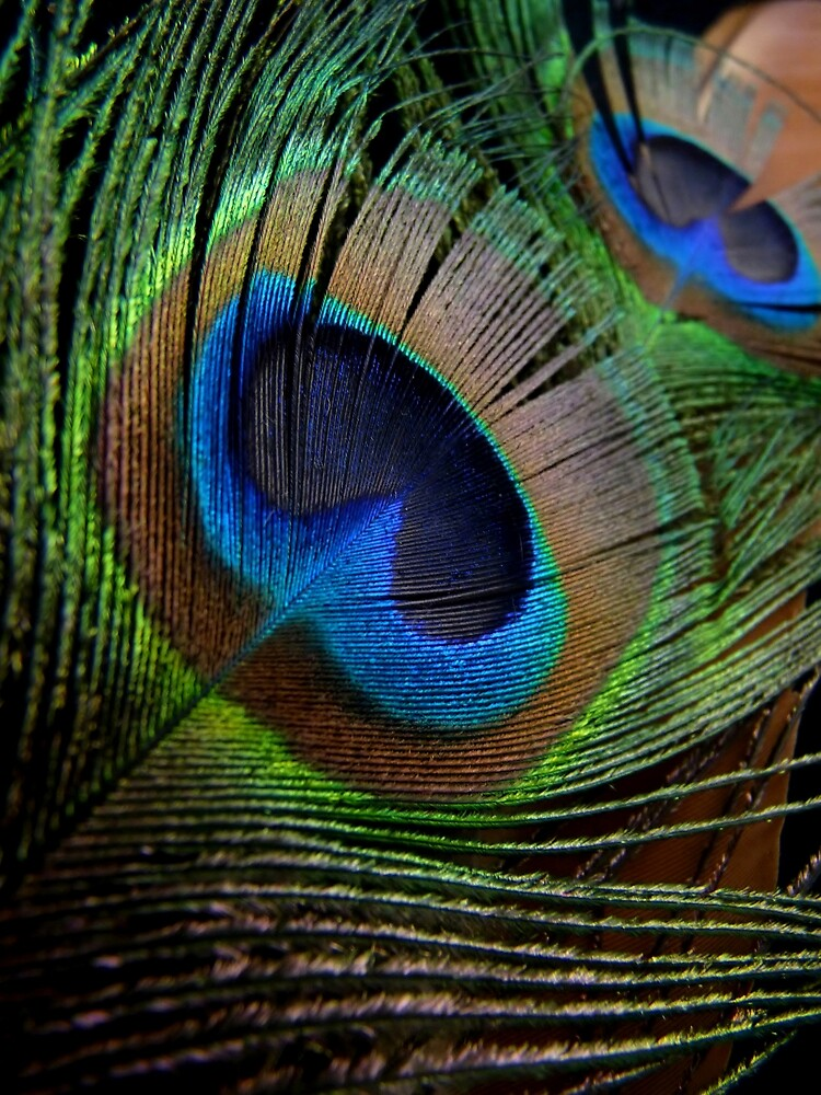 Peacock Feathers by Barbara Morrison