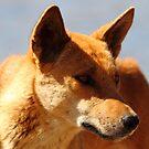 """Dingo"" by jonxiv"