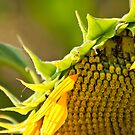 Sunflower by Kuzeytac