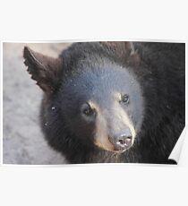 North American Black Bear Poster