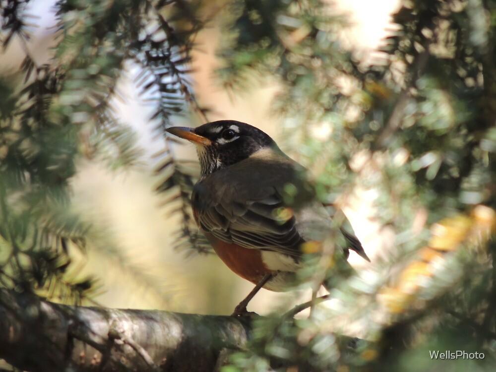 Robin by WellsPhoto