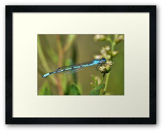Azure Bluet Damselfly by Kathy Baccari