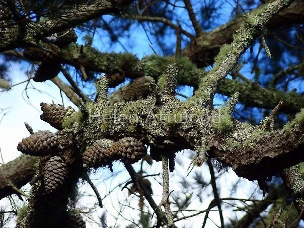 Pinecones, New Zealand by Helen Attwood