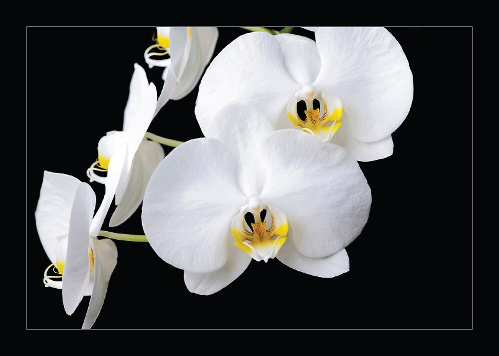 Phalaenopsis Orchid Greeting Card by Reagan Pannell