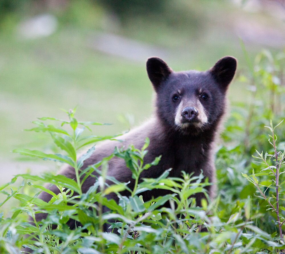 Brown Bear Cub, Whistler Mountain, BC by Andy Townsend