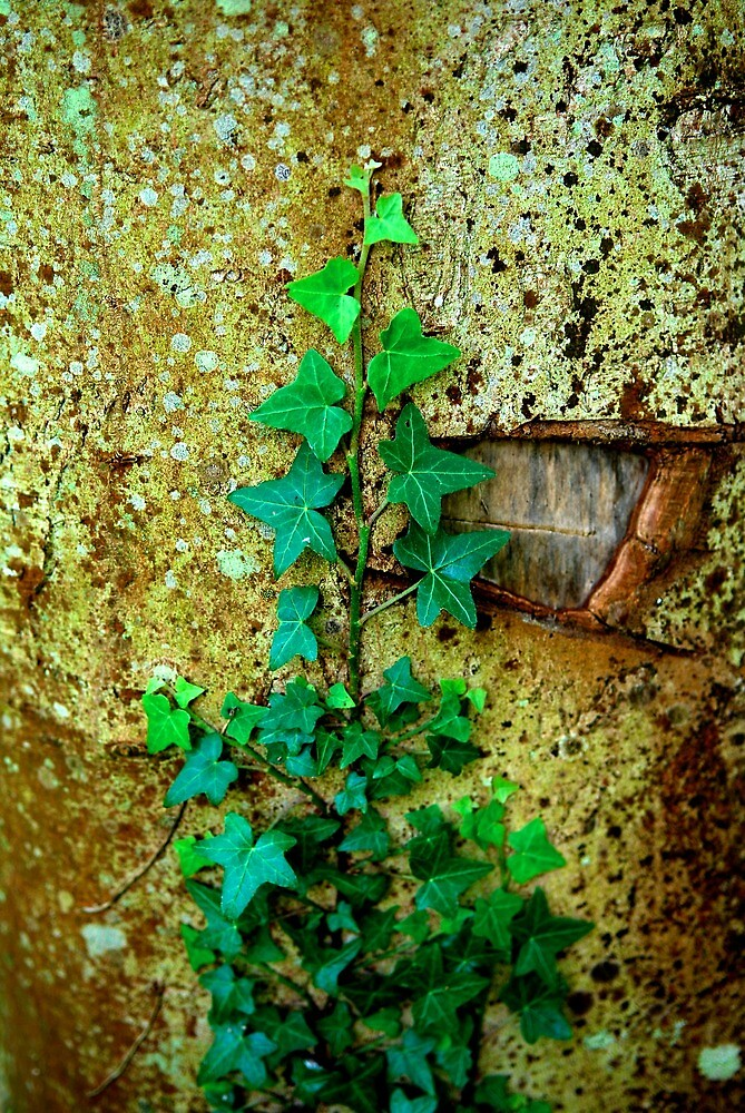 Ivy on Wall | Normandy, France by rubbish-art