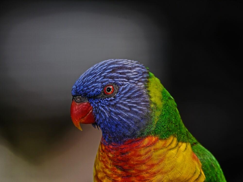 Rainbow Lorikeet portrait by Trevor Farrell
