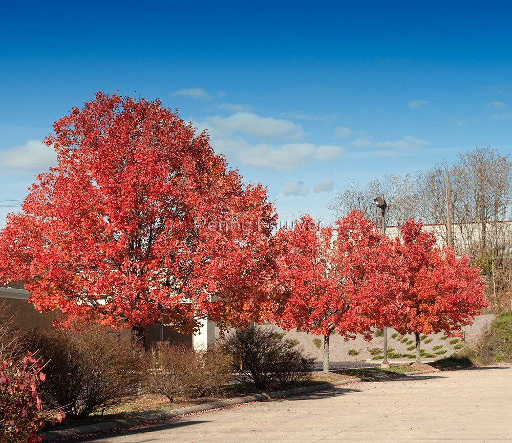 Fall trees by Penny Fawver