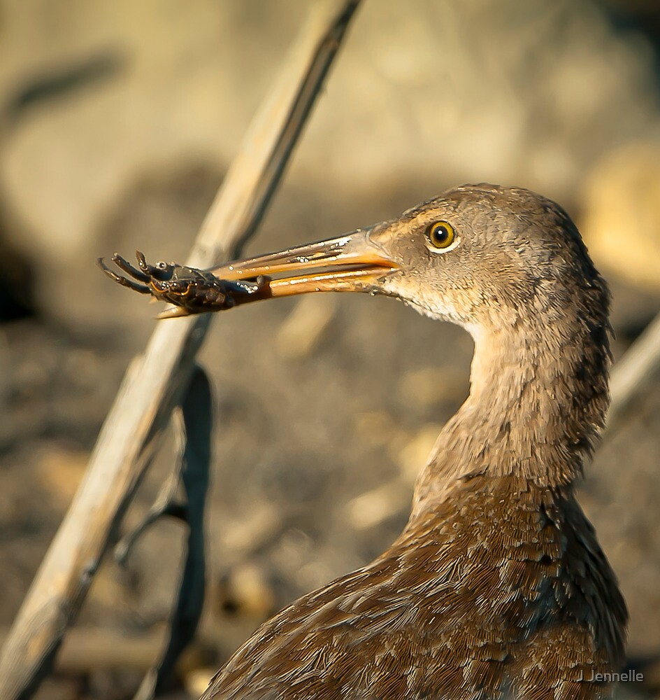 Clapper Rail With Hermit Crab by J Jennelle