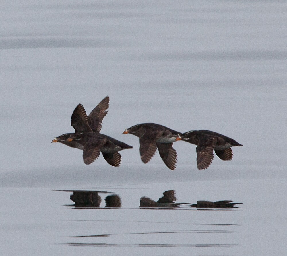 Rhinocerous Auklets, Broughton Archipelago, BC by Andy Townsend
