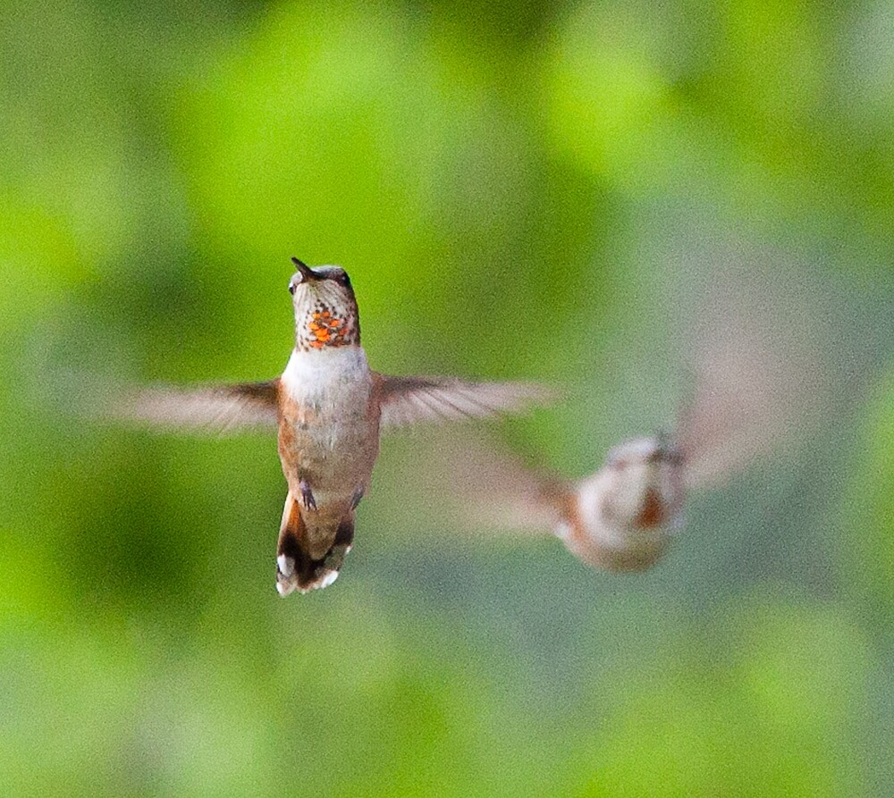 Hummingbirds, Mt Robson, BC by Andy Townsend
