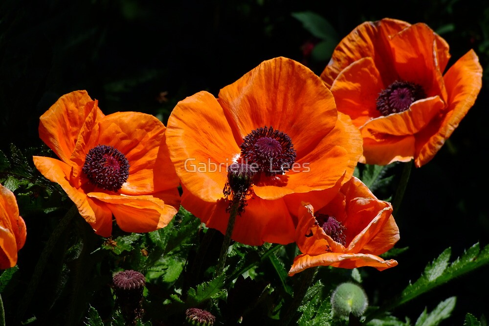 Pop Eye Poppies by Gabrielle  Lees