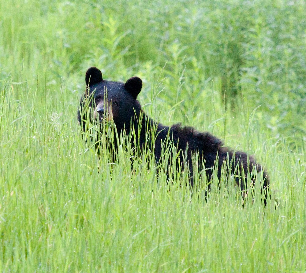 Black Bear In Grass, Whistler Mountain, BC by Andy Townsend