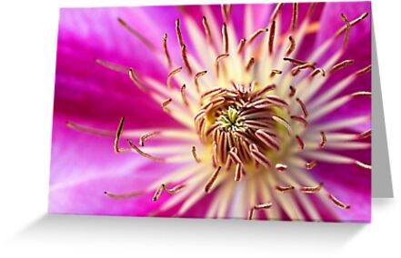 Pink Clematis by Robyn Carter